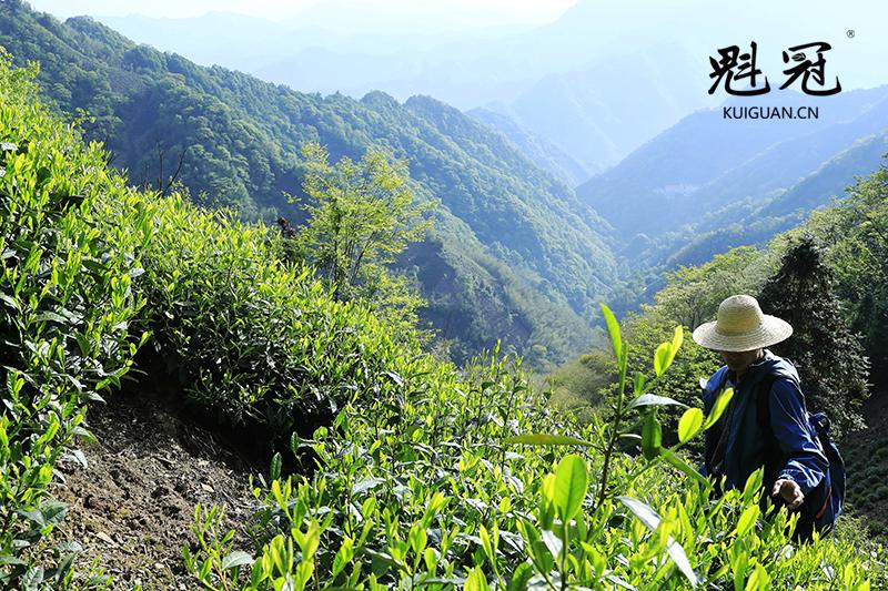 猴魁高山茶园